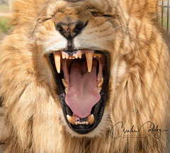 African Lion (CreatureCatalog) Tags: animals nature lion africa