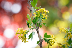119/365 golden currant flowers