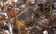 IMG_0063 White Throated Sparrow foraging (Wallace River) Tags: whitethroatedsparrow