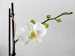 Ma première de l'année (Daniel Biays) Tags: orchidée fleur fower