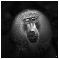 Babbon (alex.83g) Tags: babbuino tanzania safari blackwhite baboon black animale animal eyes occhi freeanimal africa tarangirenationalpark nationalpark blackandwhite