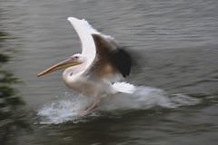 Pelican, Whipsnade Zoo, United Kingdom (Daryl Chapman Photography) Tags: pelican zoo park bird water landing splash canon 5d mkiv 70200l f28 uk unitedkingdom england