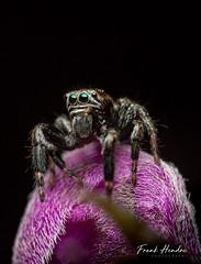 Gorilla Spider (F.Hendre) Tags: jumpingspider gorillaspider evarchaarcuarta spider arachnid jumping macro
