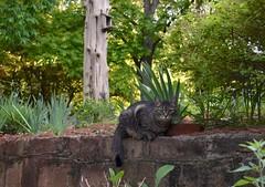 Camille on the stone wall (rootcrop54) Tags: camille female mackerel tabby striped cat stone wall light neko macska kedi 猫 kočka kissa γάτα köttur kucing gatto 고양이 kaķis katė katt katze katzen kot кошка mačka gatos maček kitteh chat ネコ