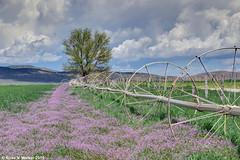 Utah Spring (walkerross42) Tags: flowers wildflowers field irrigation wheels tree farm ranch scipio utah clouds spring pentaxart