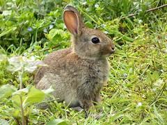 Wildkaninchen (libra1054) Tags: wildkaninchen rabbit coniglioselvatico conejo lapindegarenne oryctolaguscuniculus nature closeup outdoor wildlife