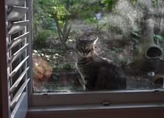 Camille at the dirty window (rootcrop54) Tags: camille female mackerel striped tabby cat dirtywindow lateafternoon light neko macska kedi 猫 kočka kissa γάτα köttur kucing gatto 고양이 kaķis katė katt katze katzen kot кошка mačka gatos maček kitteh chat ネコ window