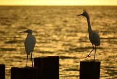 The punk on the pier (radargeek) Tags: naples fl florida 2018 october greategret egret bird sunset beach