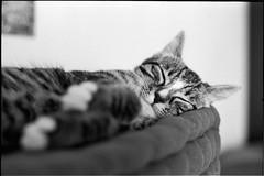 img286 (nicolasmathieudosiere) Tags: ishootfilm filmisnotdead cats catsonfilm chats bnw ilford blackandwhite minolta x700 oldcamera indoor home 35mmslr 50mm17 hp5 plus