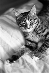 img291 (nicolasmathieudosiere) Tags: ishootfilm filmisnotdead cats catsonfilm chats bnw ilford blackandwhite minolta x700 oldcamera indoor home 35mmslr 50mm17 hp5 plus