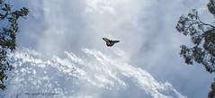 Butterfly Sky (Luxurypete) Tags: butterfly sky blue clouds silhouette olympus omd em5 markii