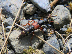 Rove Beetle, near Bowscale, 20 May 19 (gillean55) Tags: canon powershot sx60 hs superzoom bridge camera north cumbria lakedistrict bowscale northernfells bowscaletarn bowscalefell coleoptera staphylinidae rovebeetle