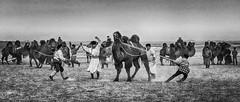 Fight With Camels (Bulgam Sum, Mongolia. Gustavo Thomas © 2019) (Gustavo Thomas) Tags: dancing fight camel doma animals wild salvaje adventure bulgamsum mongolia gobi desert mono monochrome blackandwhite life movement people traditional bnw voyager viaje traveler travel asia