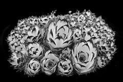 cactus (benoit_bouhier) Tags: flower cactus fleur noir blanc composition low key