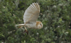 Barn Owl - Nice catch (Ann and Chris) Tags: amazing adorable beautiful close barnowl barn owl flying gorgeous impressive stunning unusual wild wings