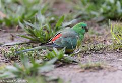 Red-Rumped Parrot (Stewart M) Tags: 2019 australia local parrot redrumpedparrot victoria bird schoolpond psephotushaematonotus