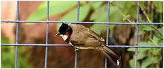 Red-whiskered bulbul [_DSC3918] (SHAN DUTTA) Tags: bulbul nikond5300 bird birdsofindia