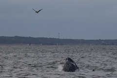 MAPS 2019 from SOTW (jakelevenson) Tags: chesapeakebay maps maryland songofthewhale usa convergentevolution crabpots creels entanglementrisk feeding humpbackwhale juvenile lungefeeding pelican youngoftheyear