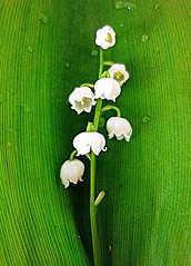 lily of the valley (majka44) Tags: lily nature green flower spring light drops macro structure leaves water rain nice white