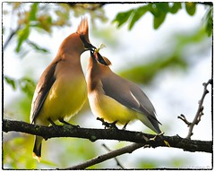 Courtship (RKop) Tags: raphaelkopanphotography eastforklake d500 600mmf4evr 14xtciii ohio