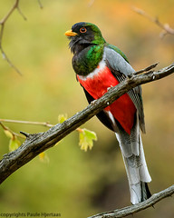 3026 Trogon calling 2 (paule48) Tags: action animal arizona bird design eleganttrogon maderacanyon maderapicnicarea usa bokeh calling color complementarycolors elegan framed green male red trogon white yellow