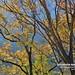 20190506-DAO_0489 秋天楓樹的顏色
