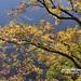 20190506-DAO_0486 秋天楓樹的顏色
