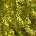 20190506-DAO_0472 銀杏樹和葉子