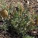 egg milkvetch, Astragalus oophorus var. oophorus