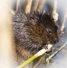 Water Vole (cazalegg) Tags: mammal wildlife water vole reeds animals nikon d500 rspb titchwell marshes norfolk