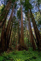 Redwoods (JD~PHOTOGRAPHY) Tags: redwoods trees forests forest muirwoods woods nature sanfrancisco naturesbeauty forestlandscape landscape canon canon6d