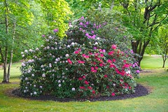 DSC06297 Our Patriotic Rhododendron nearing peak bloom!. (David Diffenderfer, Grove City, Penn) Tags: yard memorial grovecity rhododendron flowers