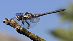 dragonfly (watts photos1) Tags: dragonfly dragon fly insect macro wings nature