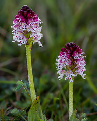 Burnt Orchid (Neotinea ustulata) (BiteYourBum.Com Photography) Tags: dawnandjim dawnjim biteyourbum biteyourbumcom copyright©2019biteyourbumcom copyright©biteyourbumcom allrightsreserved uk unitedkingdom gb greatbritain england canoneos7d canonefs60mmf28macrousm canonmacrotwinlitemt26exrt apple imac5k lightroom6 ipadair appleipadair camranger zerenestacker manfrotto055cxpro3tripod manfrotto804rc2pantilthead loweproprorunner350aw orchid orchids orchidaceae southdownsnationalpark southdowns burnt burntorchid neotineaustulata southerhamnaturereserve lewesdownsnationalnaturereserve eastsussex lewesdownsmountcaburnnationalnaturereserve