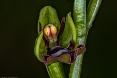 Fly Orchid (Ophrys insectifera) (BiteYourBum.Com Photography) Tags: dawnandjim dawnjim biteyourbum biteyourbumcom copyright©2019biteyourbumcom copyright©biteyourbumcom allrightsreserved uk unitedkingdom gb greatbritain england canoneos7d canonefs60mmf28macrousm canonmacrotwinlitemt26exrt apple imac5k lightroom6 ipadair appleipadair camranger zerenestacker manfrotto055cxpro3tripod manfrotto804rc2pantilthead loweproprorunner350aw orchid orchids orchidaceae fairmilebottom westsussex sussex arundel southdownsnationalpark southdowns fairmilebottomlnr fly ophrys insectifera flyorchid ophrysinsectifera