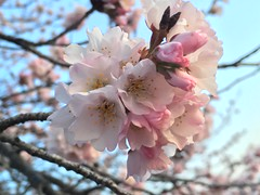 IMG_4004 (francesxcabrini) Tags: cherry blossoms cherryblossoms washingtondc flowers sunrise jeffersonmemorial washingtonmonument tidalbasin