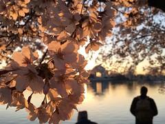 IMG_4025 (francesxcabrini) Tags: cherry blossoms cherryblossoms washingtondc flowers sunrise jeffersonmemorial washingtonmonument tidalbasin