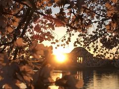 IMG_4029 (francesxcabrini) Tags: cherry blossoms cherryblossoms washingtondc flowers sunrise jeffersonmemorial washingtonmonument tidalbasin
