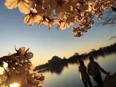 IMG_4097 (francesxcabrini) Tags: cherry blossoms cherryblossoms washingtondc flowers sunrise jeffersonmemorial washingtonmonument tidalbasin
