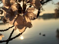 IMG_4131 (francesxcabrini) Tags: cherry blossoms cherryblossoms washingtondc flowers sunrise jeffersonmemorial washingtonmonument tidalbasin