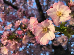 IMG_4199 (francesxcabrini) Tags: cherry blossoms cherryblossoms washingtondc flowers sunrise jeffersonmemorial washingtonmonument tidalbasin