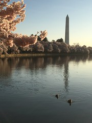 IMG_4164 (francesxcabrini) Tags: cherry blossoms cherryblossoms washingtondc flowers sunrise jeffersonmemorial washingtonmonument tidalbasin