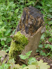 Greenbeard (Nekoglyph) Tags: guisborough cleveland green beard moss tree trunk leaves nature forest found face plants anthropomorphism black nose