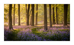 Tracks (Dave Fieldhouse Photography) Tags: micheldever bluebells woodland woods trees spring wildflower morning sunrise hampshire tracks fuji fujifilm fujixt2 wwwdavefieldhousephotographycom purple colours uk seasons sunshine