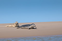 Mother Seal (cabalvoid) Tags: mother wild wildlife seal nature water young costal coast uk seaside