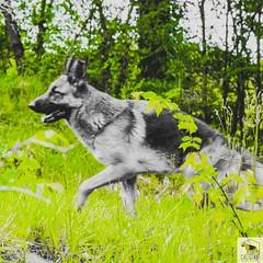 German Sherherd (Allevamento Casa Caligiani) Tags: schäferhund pastoretedesco germanshepherd gsd dog cane
