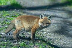 Fox Kit - Grimes Hill Road Sabinsville PA (dfbphotos) Tags: 2019 may spring tioga sabinsville tiogacounty places grimeshill wildlife foxkit fox pa usa