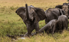 SAVANNAH ELEPHANTS:  MUD HOLE (John C. Bruckman @ Innereye Photography) Tags: kenya maasaimarareserve elephant savannahelephants pachyderms elephantfamilies femaleelephants matriarch cows calves calf matriarchalhead mudhole skinparasites sunburn coth5