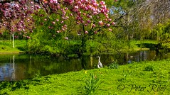 Heron and Seagull admiring the river through Regents Park. (peterileypics) Tags: heron seagull bird summer river park london spring nature wildlife regentspark birds animal