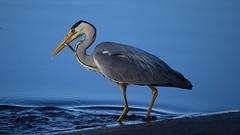 Tea time (chris_m03) Tags: heron bird fishing nature